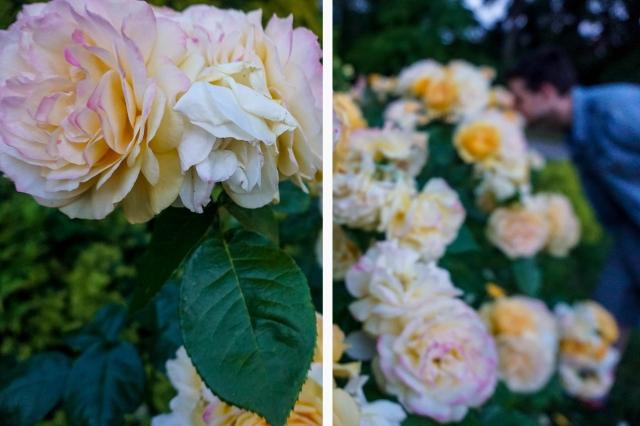Rose NEW 1