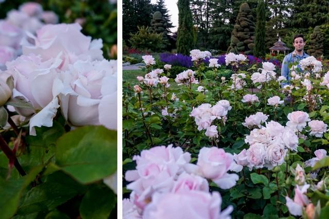 Rose NEW 3